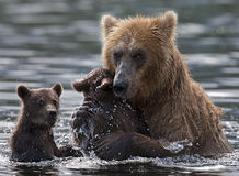 Bear. Female brown bears cares about their babies