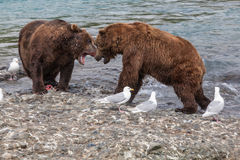 Bear fight. Brown bears fight over a salmon at McNeil river in Alaska, while seagulls hope for leftovers Stock Images