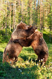 Bear fight. In the forest at summer stock image