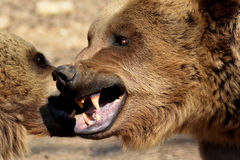 Bear fight. Two bears starting a fight Royalty Free Stock Photo