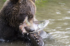 Bear and fish Stock Photography