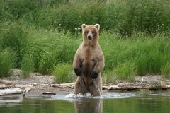 Bear Fisherman Royalty Free Stock Photo