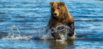 Bear Fishing. Panoramic Composition of Large Adult Alaskan Coastal Brown Bear aka Grizzly Bears Fishing In Stream Stock Photo
