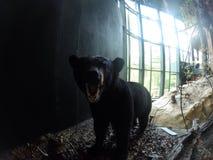 Bear Royalty Free Stock Photo