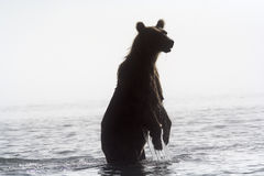 Bear in a fog Royalty Free Stock Photography