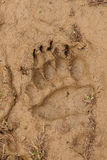 Bear footprint on clay soil Royalty Free Stock Images