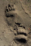 Bear footprints, Yukon, Canada Royalty Free Stock Photography