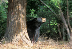 Bear in the Forest Royalty Free Stock Photo