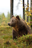 Bear in forest Stock Images
