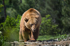 Bear in forest royalty free stock image