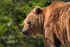 Bear in forest stock photography