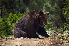 Bear in forest royalty free stock photo