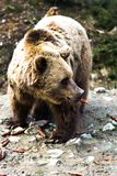 Bear in the forest. Brown bear with forest landscape Stock Photography