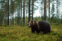 Bear in forest Royalty Free Stock Photos