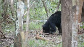 Bear in the forest .large in size ,,Insects and honey eat.in wilpttu nationl park .in sri lanka