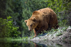 Bear in forest on river royalty free stock image
