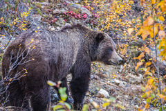 The bear found food in the autumn forest Stock Photography