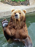 Bear. Friendly big bear with pool Stock Image