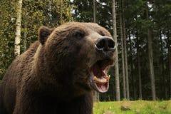 Bear Fury. Furious wild bear in the wood roars showing his teeth royalty free stock photo
