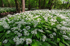 Bear garlic in a bloom. In a forrest of Zbytka natural reservation Stock Image
