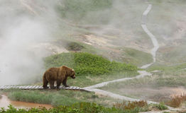 Bear at the geyser Royalty Free Stock Photo