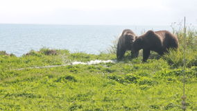 Bear gnaw  water hose stock video
