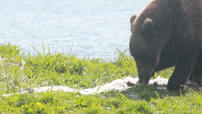 Bear gnaw  water hose stock video footage