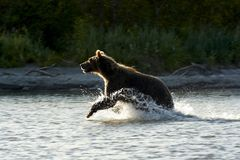 The bear goes on water. Royalty Free Stock Image