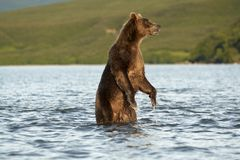 The bear goes on water. Stock Photography