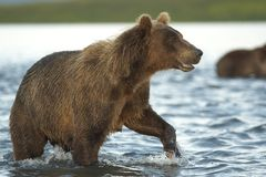 The bear goes on water. Royalty Free Stock Images