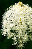 Bear Grass Bloom. A white bear grass bloom struck with a ray of light in a dark Oregon forest Royalty Free Stock Images
