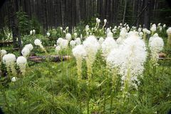 Bear grass blooming stock photography