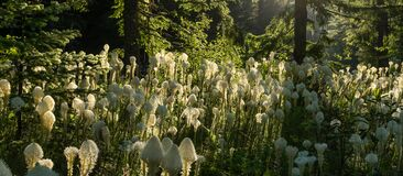 Bear Grass Display