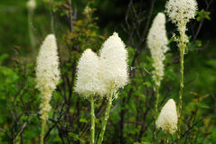Bear grass flowers in waterton Stock Photography