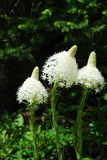Bear grass flowers in waterton Royalty Free Stock Photo