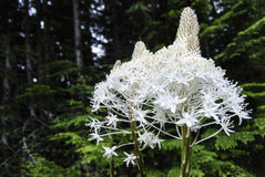 Bear Grass near Memaloose Lake Royalty Free Stock Photo