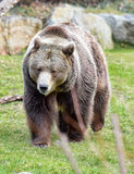 Bear on the grass Royalty Free Stock Photo
