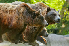 Bear. Grizzly brown bear with another bears, in profile, sideview Royalty Free Stock Photos