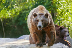 Bear. Grizzly brown bear looking forward, front view Royalty Free Stock Image
