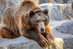 Bear. Grizzly brown bear lying on stone Stock Images