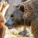 Bear. Grizzly Brown Bear profile head Stock Photos