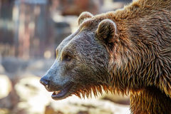 Bear. Grizzly Brown Bear profile head, close-up Royalty Free Stock Images