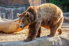 Bear. Grizzly brown bear walking on rock Royalty Free Stock Image