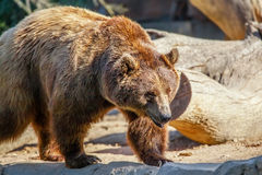 Bear. Grizzly brown bear walking under sun Royalty Free Stock Images
