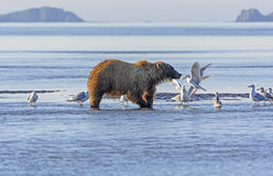Bear and the Gulls Stock Photo