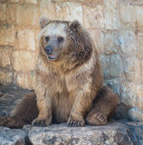 Bear at Haifa Zoo Stock Images
