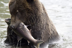The bear has fished Royalty Free Stock Photography