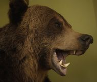Bear head dummy background green color indoors close-up Stock Images
