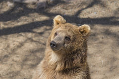 Bear head Royalty Free Stock Images