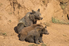 Bear with her two cubs. Stock Image